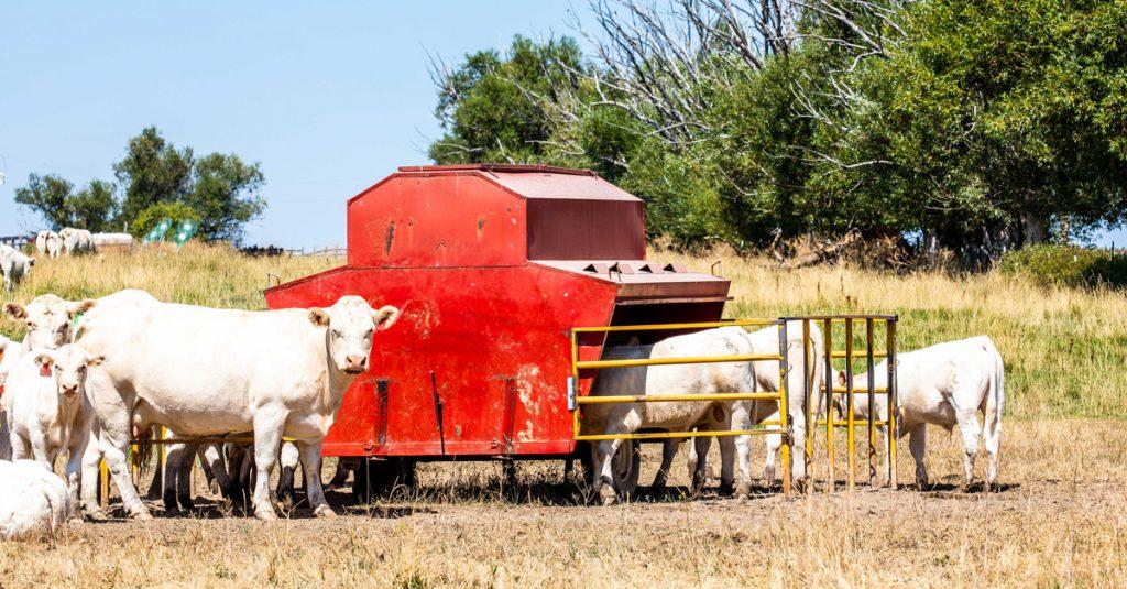 Cows at a feeder