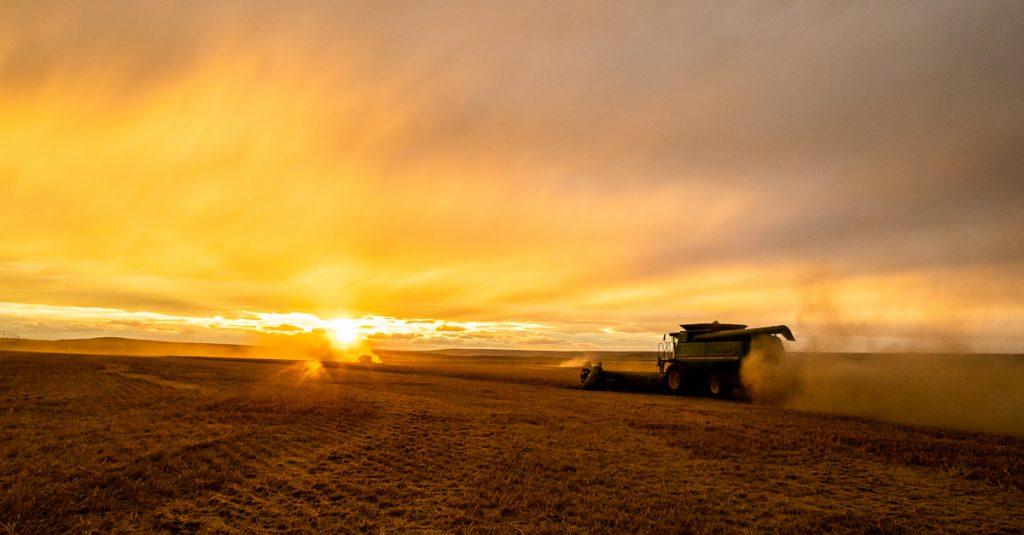 harvesting wheat at sunset