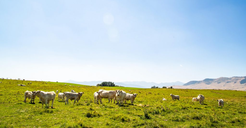 White cows in a pasture on a clear, sunny day