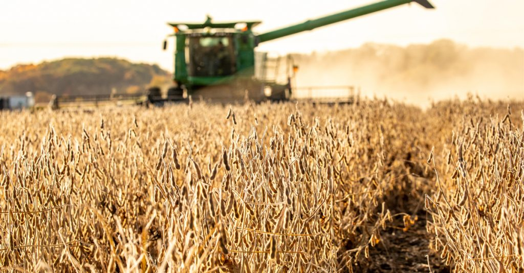 Soybean field at harvest time